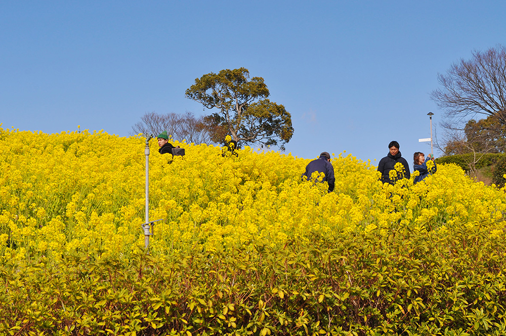 記事 神戸総合運動公園(須磨区緑台)「公園で遊ぼう!菜の花ビンゴ」のアイキャッチ画像